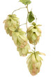 beautiful green hop isolated on white