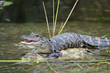 Young American Alligator with Mouth Open Basking in the Sun