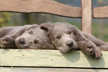 deux chiots braque de Weimar font la sieste