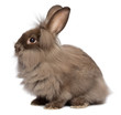 A sitting chocolate lionhead bunny rabbit