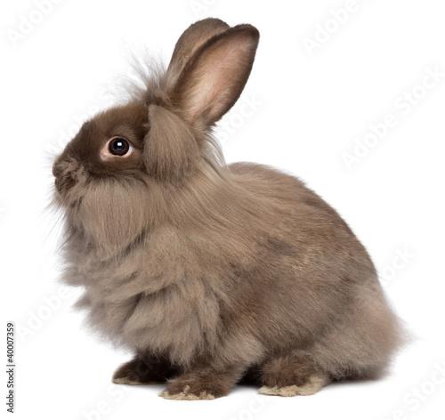 A sitting chocolate lionhead bunny rabbit