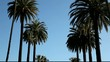 palm trees, Los Angeles, California