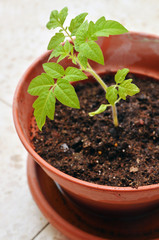 Young seedling of tomato growing in a soil.