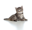 Lying pretty brittish tabby kitten