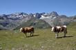 Kühe bei Kühtai