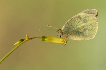 Mariposa Pieris brassicae