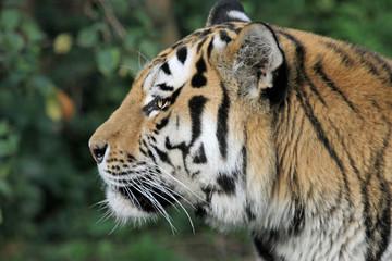 1203058 - Tiger im Profil