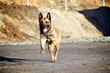 Running Police Dog