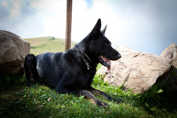 Black German Shepherd - Italian Alps