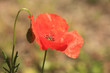 red poppy close up in a field in summer