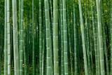 Fototapeta dense bamboo forest