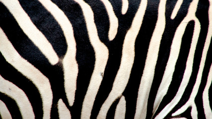 Zebra, Ngorongoro Crater, Kenya