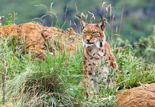 Canvas Lynx Lince iberico