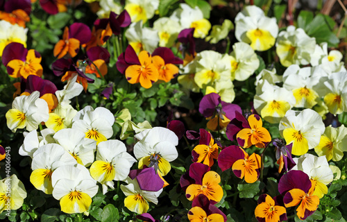 canvas print picture Hornveilchen, Viola cornuta, horned pansy, tufted pansy