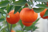 cultivation of citrus fruits of all kinds in a greenhouse