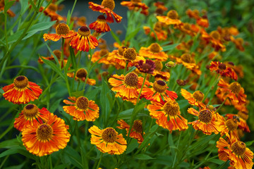 orange ox-eye daisy