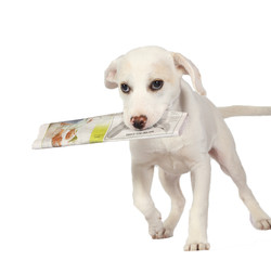 Lab puppy delivering the newspaper