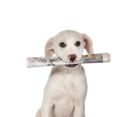 Lab Puppy fetching the newspaper