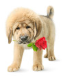 Funny puppy with red rose