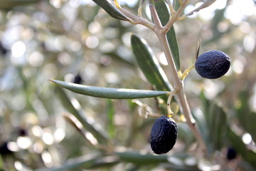 Black Olives and leaves on branch.