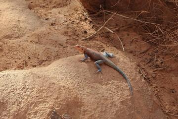 Eidechse in der Sahara