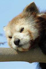 1203032 - Roter Panda