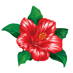 Red hibiscus flower on white background