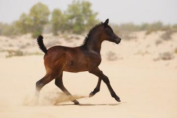 Dark brown arabian foal in desert