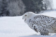 shouting snowy owl