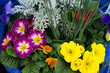 Flower arrangement with primroses