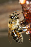 common bee eating sap / Apis mellifera