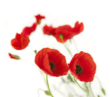 Fresh Poppies isolated on white background / focus on the foreg