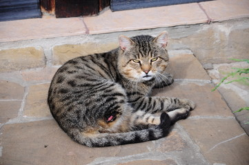 a cat laying (with missing leg)