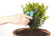 Schneiden eines Buchsbaumes