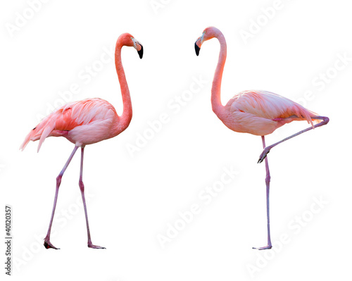 Couple de flamant rose