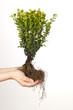 Buchsbaum mit Wurzel