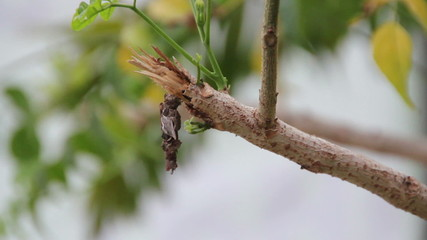 pupa is climbing on Branch