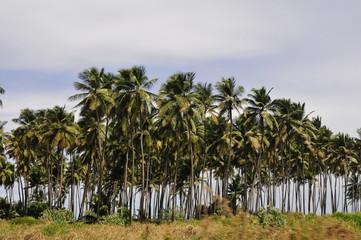 cocoteros tropicales