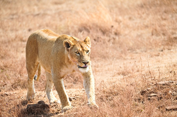 lioness in the wild, Kenya