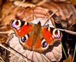 Peacock butterfly close up.