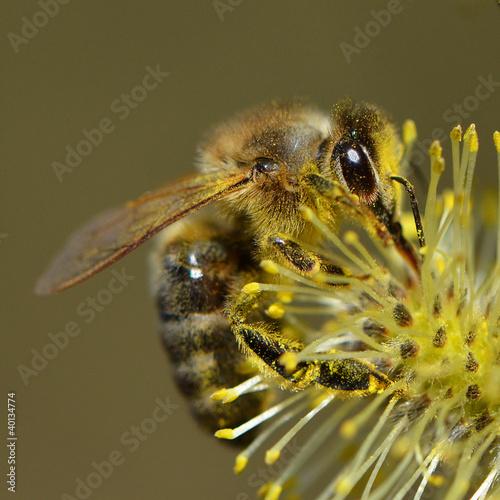 Biene auf Weidenkätzchen