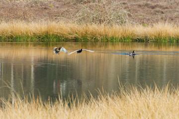 Flying wild ducks in nature