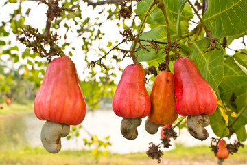 Cashew nuts growing on a tree