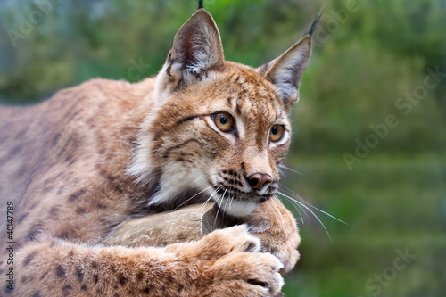 Foto op Aluminium Lynx lynx against wildness area