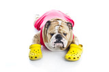 Funny English Bulldog in crocs isolated poster
