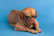 Dog with funny glasses with dollar currency sign