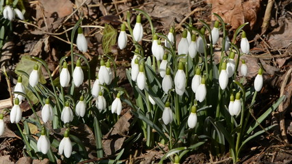 spring snowdrops in the wind