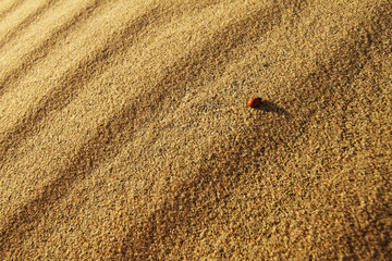 Coccinella septempunctata en la playa