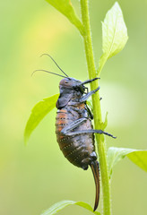 cricket (Bradiphorus Dasiphus)