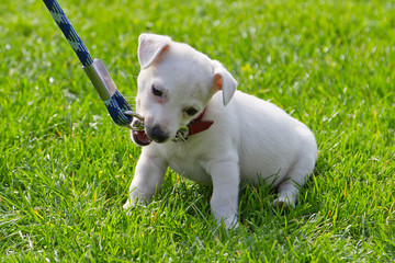 Cute little puppy first time on the leash